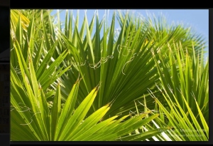 palm.fronds